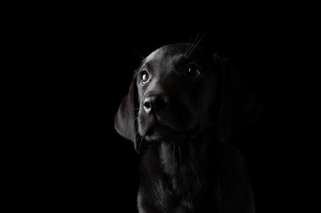 Bellissimo cucciolo di labrador nero ritratto su sfondo nero.