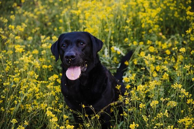 Bellissimo labrador nero seduto all'aperto sullo sfondo del prato di fiori gialli. tempo di primavera, animali felici nella natura