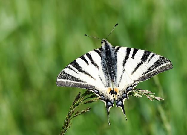 Bella farfalla in bianco e nero