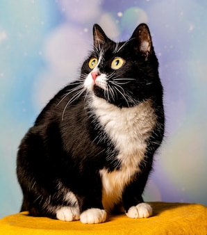 Un bellissimo gatto bianco e nero sta guardando