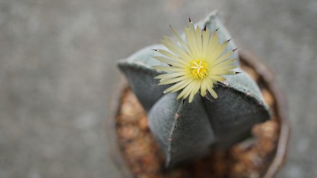 La bella fioritura del fiore astrophytum myriostigma