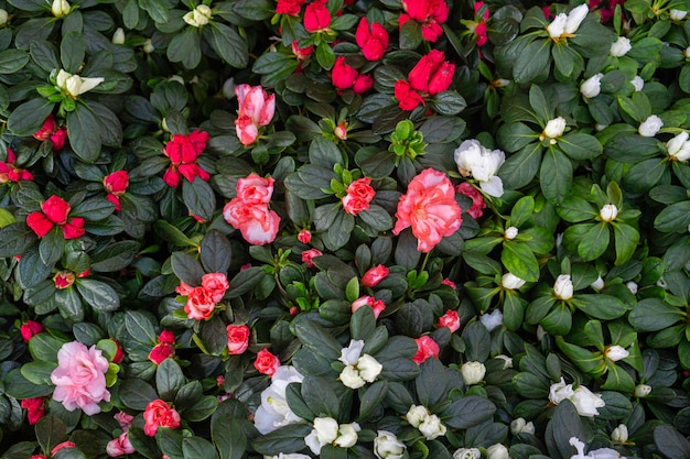 I bei fiori di fioritura dell'azalea hanno strutturato il fondo. vista dall'alto. piante da appartamento per giardino interno.
