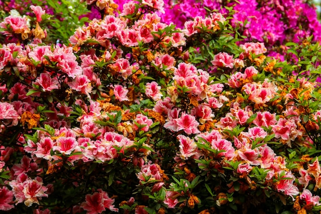 Bellissimo rododendro rosa in fiore nel giardino