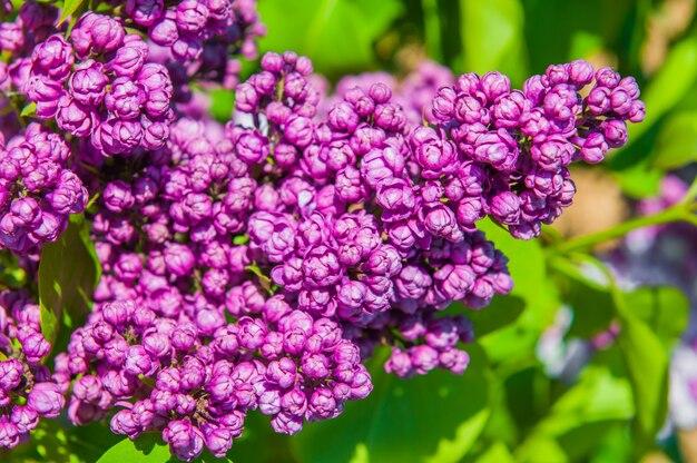 Bellissimi fiori lilla viola di velluto in fiore si chiudono in un giardino in una soleggiata giornata di primavera