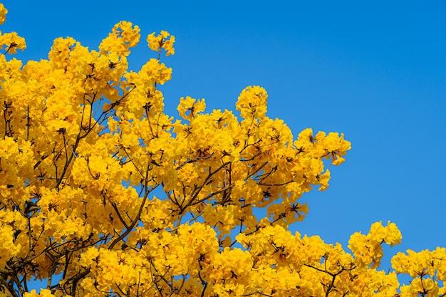 La bella fioritura gialla dorata tabebuia chrysotricha fiorisce con il parco nel giorno di primavera al fondo del cielo blu in thailandia.