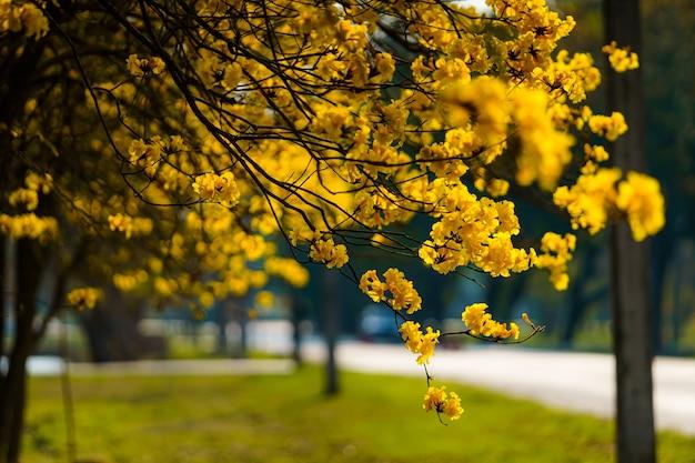 La bella fioritura gialla dorata tabebuia chrysotricha fiorisce con il parco nel giorno di primavera al fondo di sera in tailandia.