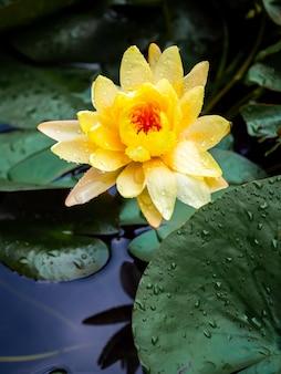 Bella ninfea gialla in fiore o fiore di loto ricoperto di molte gocce d'acqua dopo aver piovuto su foglie di loto verde e acqua blu profonda, stile verticale.