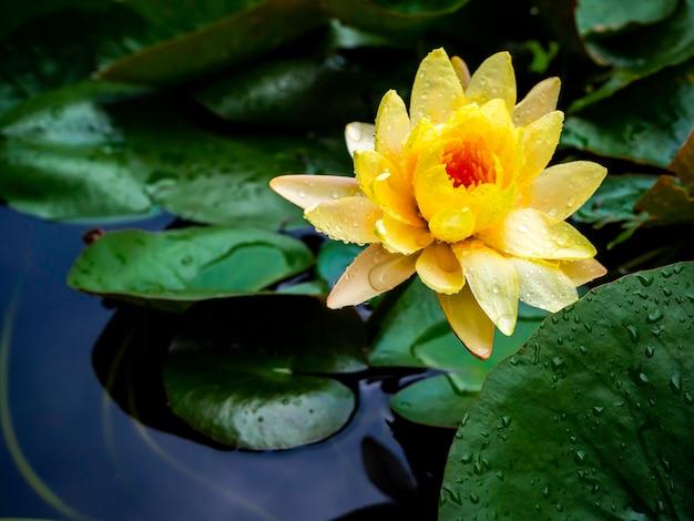 Bella ninfea gialla in fiore o fiore di loto ricoperto di molte gocce d'acqua dopo aver piovuto su foglie di loto verde e acqua blu profonda.
