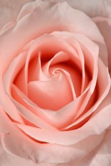 Bellissimo bocciolo di rosa rosa. fiori e piante.