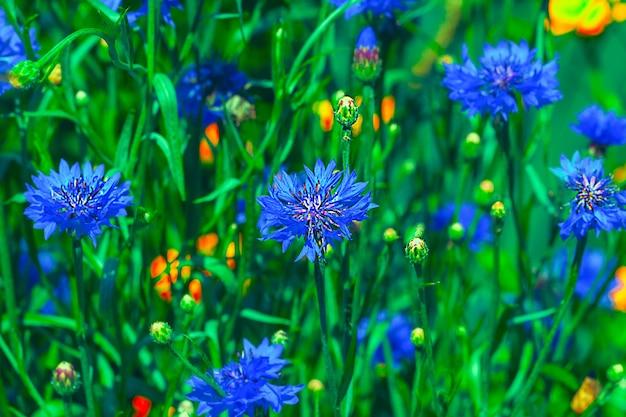 Bellissimi fiori blu di centaurea cyanus di fiordaliso con fioritura blu in estate.