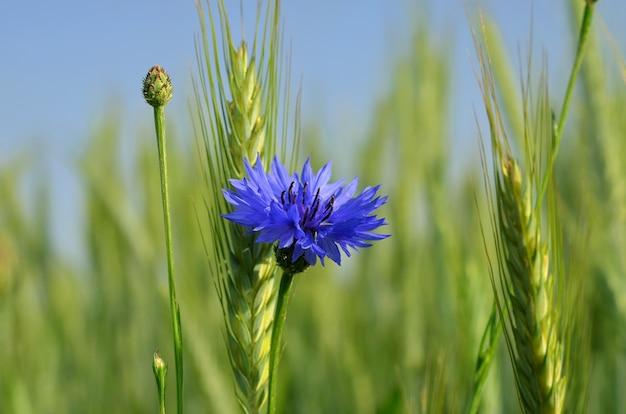 Bellissimo fiordaliso blu nel campo