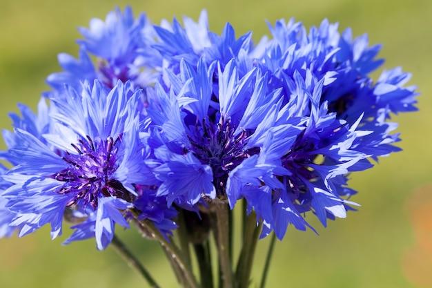 Bellissimi fiordalisi blu nel campo in estate, un bouquet raccolto di fiordaliso blu di fiori di campo