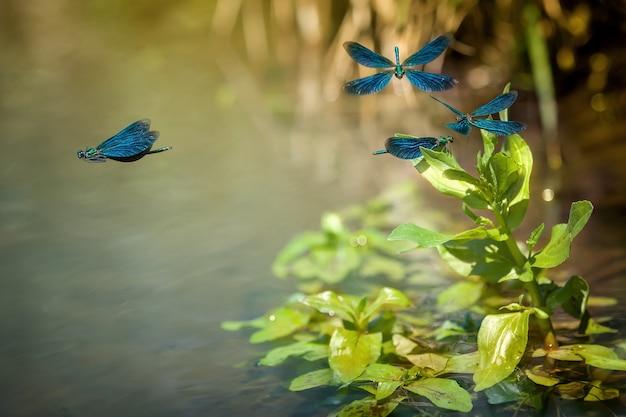 Bellissimo volo blu demoiselle sopra il fiume all'inizio della primavera