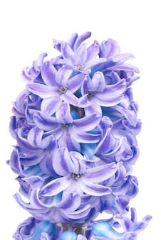 Giacinti di bei fiori blu isolati su bianco. sfondo macro primavera
