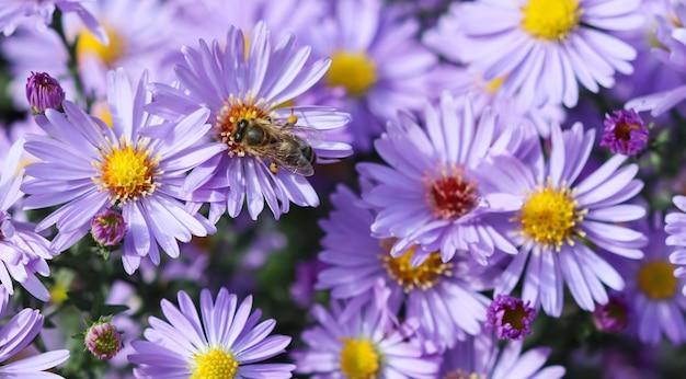 Bellissimi fiori blu zaffiro mistaster con un'ape nel giardino autunnale