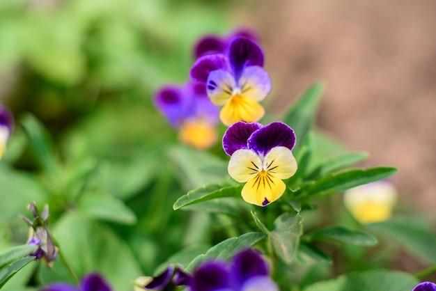 Bellissimi fiori blu nel giardino primaverile contro piante verdi.