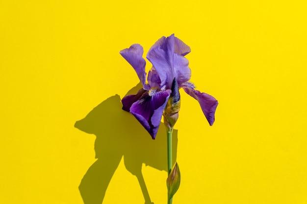 Bello fiore blu dell'iride su colore giallo