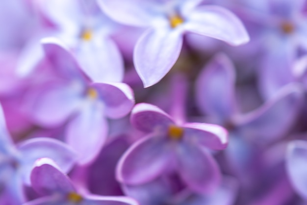 Bellissimo sfondo sfocato di fiori lilla di lillà. sfondo floreale naturale.