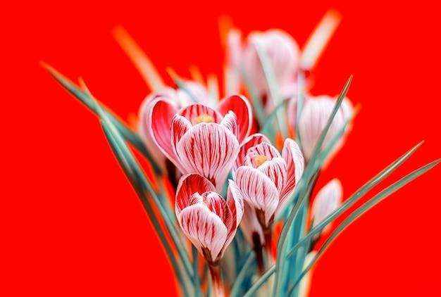 Bellissimo bouquet di crochi primaverili, sulla parete rossa.