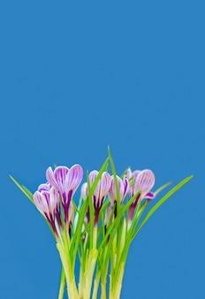 Bellissimo bouquet di crochi freschi di primavera, sulla parete blu. focalizzazione morbida