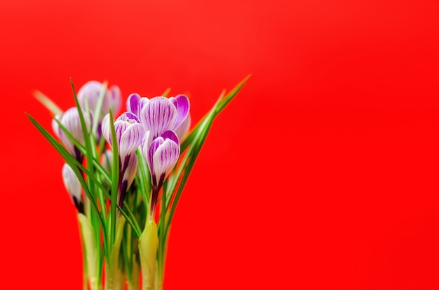Bellissimo bouquet di crochi freschi di primavera, sulla parete rossa. focalizzazione morbida