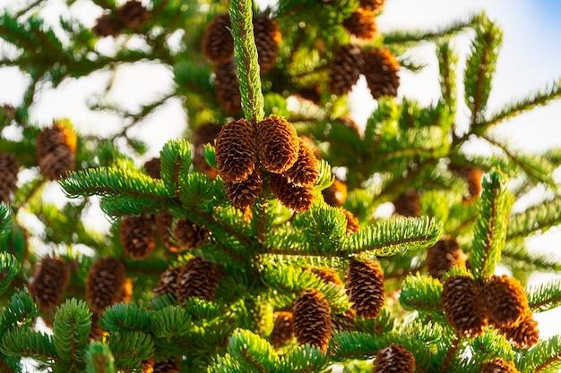 Bellissimi rami di albero di pelliccia di natale con pigne marroni sull'ora d'oro. metti a fuoco il primo piano