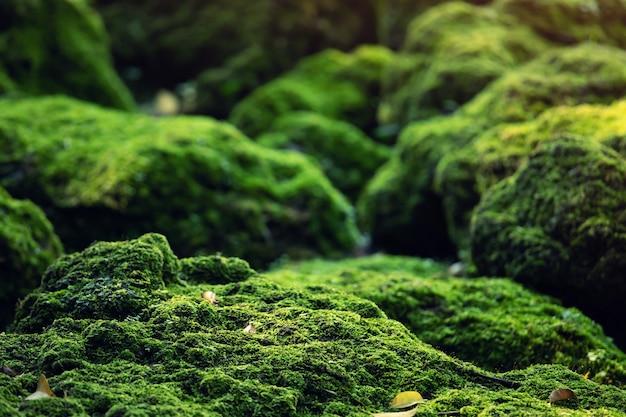 Il bellissimo muschio verde brillante cresciuto copre le pietre grezze e sul pavimento della foresta. mostra con vista macro. rocce piene della trama di muschio in natura per la carta da parati.