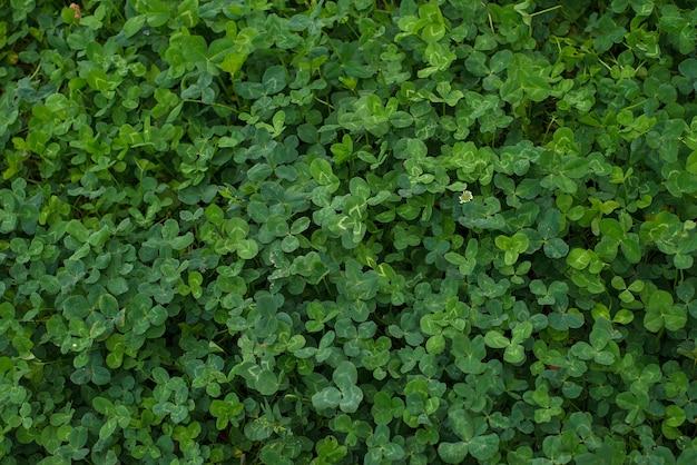 Bellissimo trifoglio di erba succosa brillante