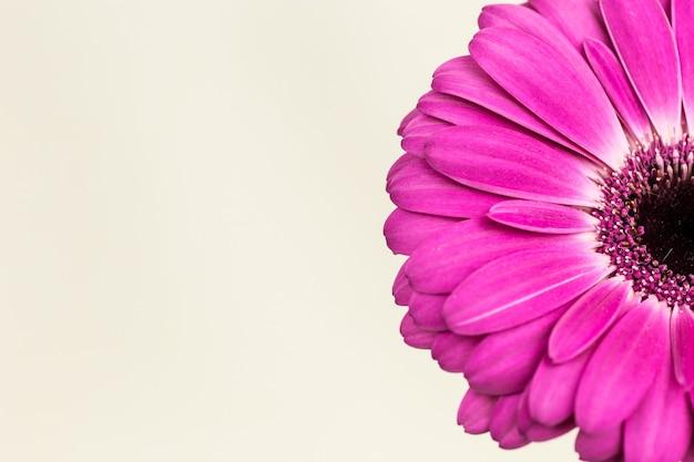 Bella gerbera rosa brillante nella macro
