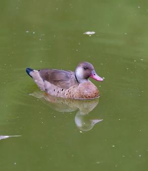 Bella anatra marrone sul laghetto nel parco