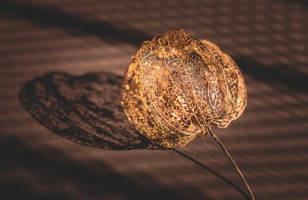 Bellissimo fiore di physalis essiccato vuoto marrone