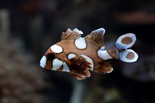 Bellissimo pesce marrone sul fondo del mare e sulle barriere coralline