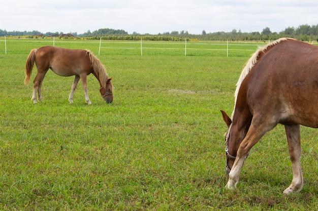 Bellissimo cavallo marrone al pascolo nel prato della fattoria. cavallo su un prato verde.