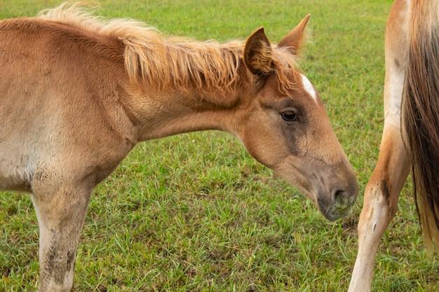 Bellissimo cavallo marrone al pascolo nel prato della fattoria.