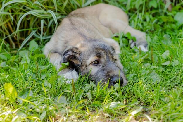 Un bellissimo levriero irlandese marrone con una bella espressione in testa in un giardino.