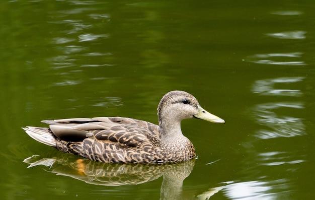 Bella anatra marrone e bianca che nuota pacificamente nel lago