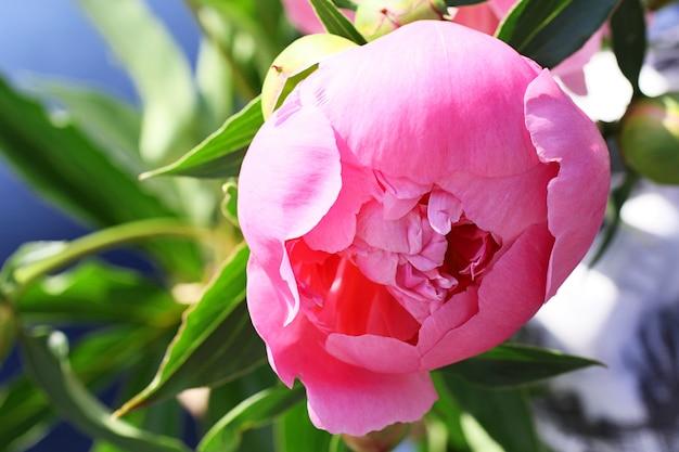Bella gemma di una peonia chiusa. fiore rosa primaverile.