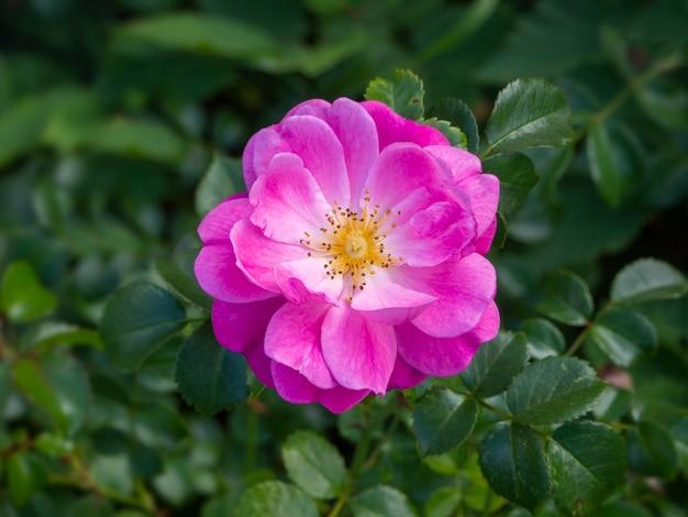 Bellissimo mazzo di un fiore di rosa rosa in fiore su sfondo verde sfocato