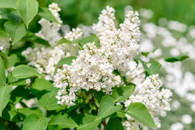 Bellissimo cespuglio di lillà in fiore nel giardino primaverile.