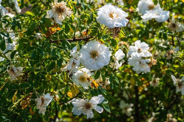Bellissimo cespuglio di rose bianche in un giardino di primavera.