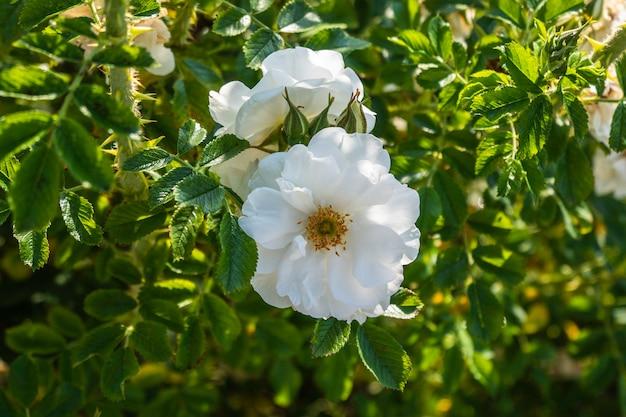 Bellissimo cespuglio di rose bianche in un giardino estivo