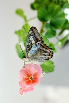 Bella farfalla sui fogli verdi del fiore isolati, fine su