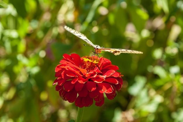 Bella farfalla sul fiore rosso, farfalla su un fiore