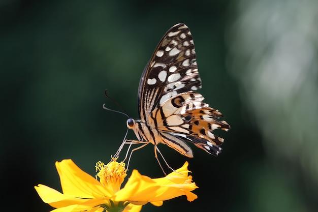 Bella farfalla succhia l'essenza di miele sui fiori gialli