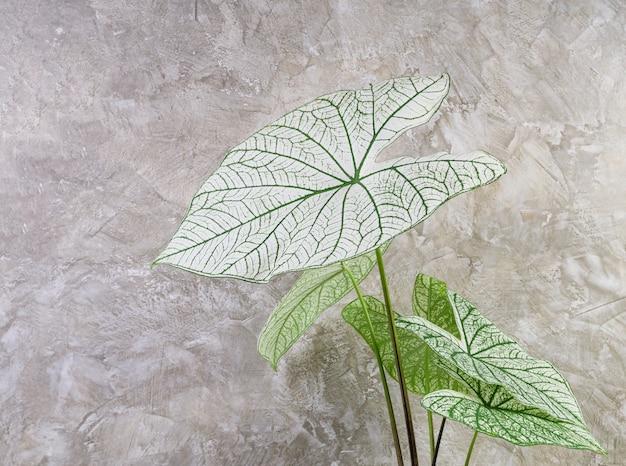 Bella caladium bicolor vent, araceae, angel wings piante da appartamento a foglia verde su sfondo muro di cemento cement