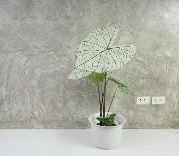 Bella caladium bicolor vent, araceae, piante da appartamento con ali d'angelo in vaso bianco moderno su pavimento in legno bianco e sfondo muro di cemento
