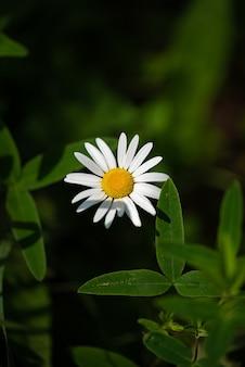 Bellissimo fiore di camomilla al sole su sfondo verde green