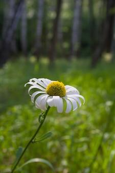 Bellissimo fiore di camomilla con prato verde come superficie