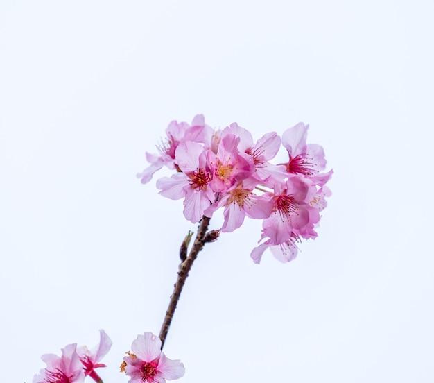 Bellissimi fiori di ciliegio albero sakura fioriscono in primavera isolati su sfondo bianco, copia spazio, primi piani.