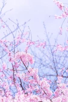 I bei fiori di ciliegio sakura fioriscono in primavera